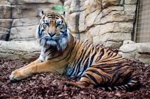 London Zoo tiger