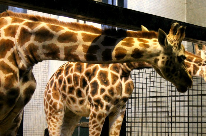 How does a giraffe go to bed?