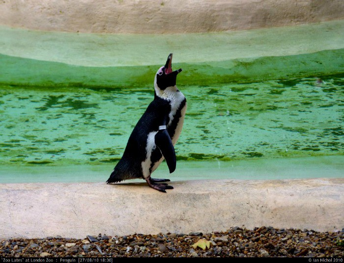 Penguins are one of the cutest inhabitants of the zoo