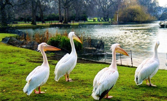 Pelicans at St James's Park