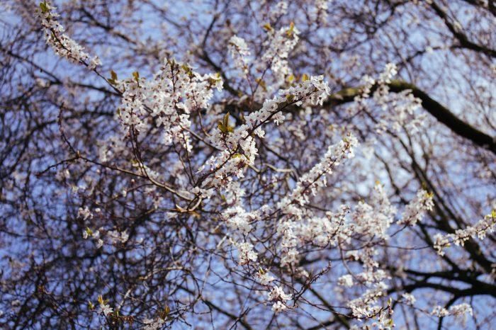 Holland park cherry blossom