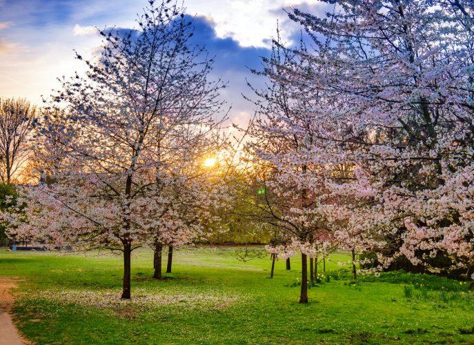 Regents Park cherry blossom