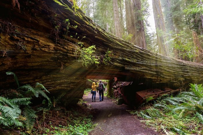 A couple walking under a giant Redwood in Redwood National Park, California