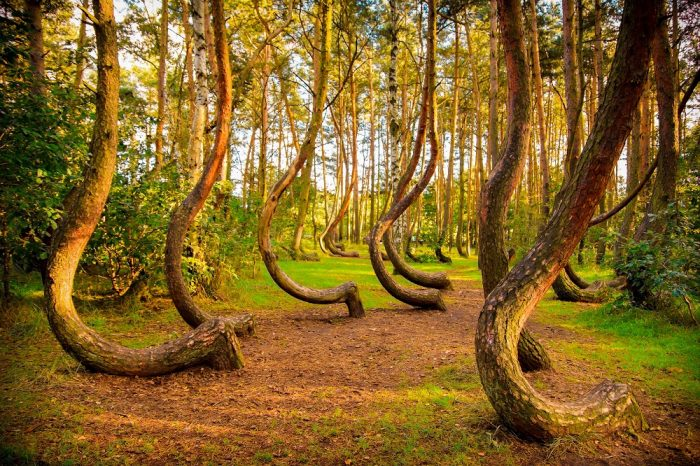 Identical crooked trees in The Crooked Forest, Poland