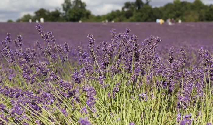 Mayfield Organic Lavender Farm in Croydon